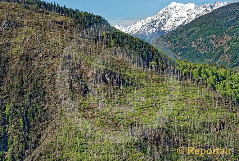 Foto: Ein Bergwald oberhalb Visp VS fünf Jahre nach seinem Feuertod. (Luftaufnahme von Niklaus Wächter)